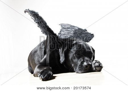 angel black lab - concept dog with wings