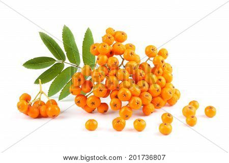 Rowan With Green Leaf Isolated On White Background