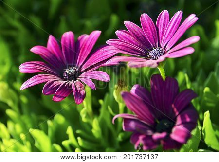Osteospermum ecklonis flowers (Cape Marguerite flower, Dimorphotheca).Purple daisy flowers growing in the park of Tenerife,Canary Islands,Spain.Floral background.Selective focus.