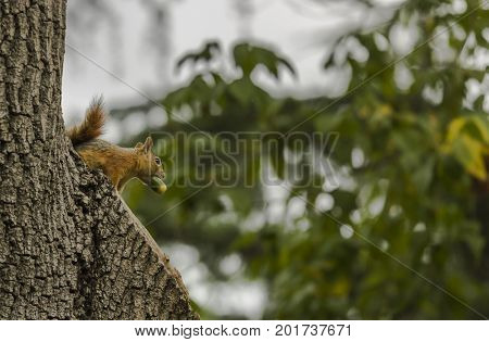 Squirrel on a tree holding an acorn with its mouth