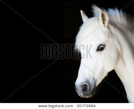 little pony prince isolated on black