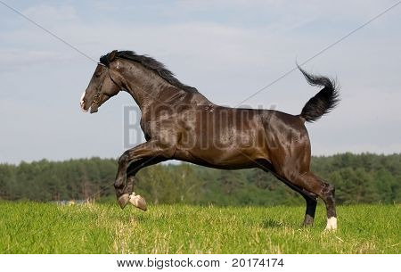black hanoverian stallion