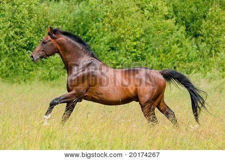 the bay trakehner stallion galloping