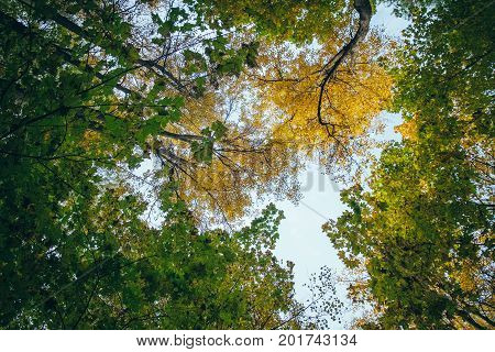 Bottom view of the tops of trees in the autumn forest. Splendid woods scene in the colorful woodland. Beautiful outdoor nature landscape photography - walking in a forest with golden and green foliage