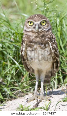 A young Burrowing Owl stands at attention. poster