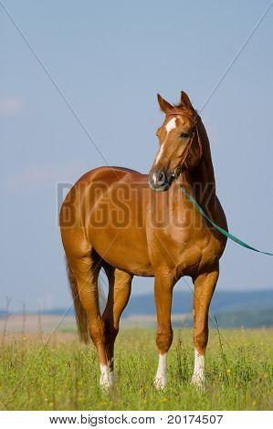 Bavarian chesnut horse in field