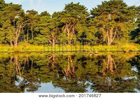 Trees in early morning sunlight reflected in the mirror smooth water surface of a fen in a Dutch nature reserve on a sunny day in the summer season.