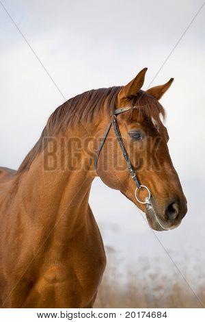 portrait of chesnut stallion poster