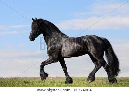 friesen stallion trot in field