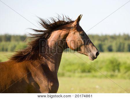 portrait of chestnut horse