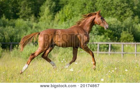 chestnut young horse