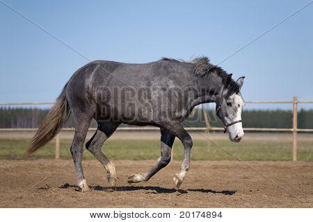 Grey horse running in platz