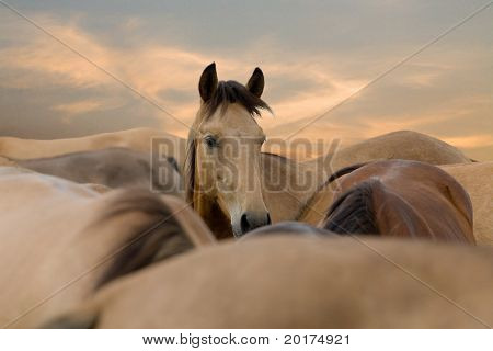 herd of horses in sunrise