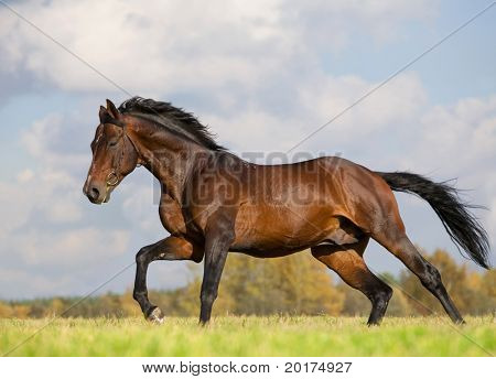 bay horse running in field poster