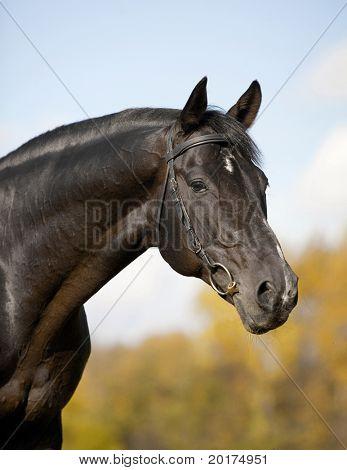 a portrait of black horse