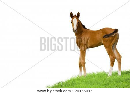 bay foal isolated on white background poster