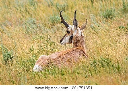 Pronghorn Antelope lying in a Wyoming Meadow