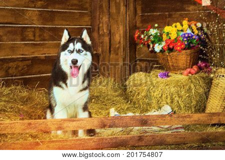 Dog breed Siberian husky. Dog is symbol of New 2018 year according to Chinese calendar Year Of Yellow Earth Dog. Pet dog Siberian husky loyal friend of man