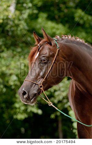 Portrait of brown Arabian horse poster