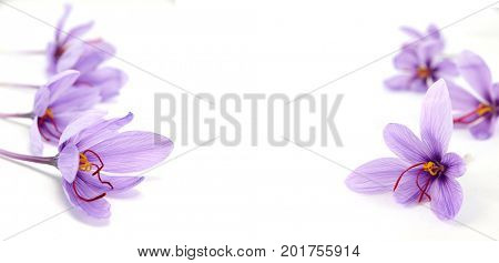 Crocus flowers on white background and copy space