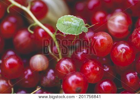 Macro shot shield bug Palomena prasina on red currant berries