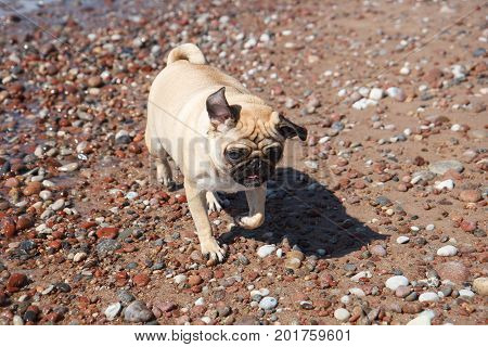 Young pug dog running on beach stones