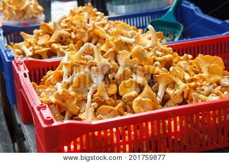 Chanterelle mushrooms, a wild mushroom on sale in farmer market