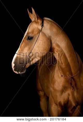 Palomino Akhal-Teke  horse isolated on black background, studio shot.
