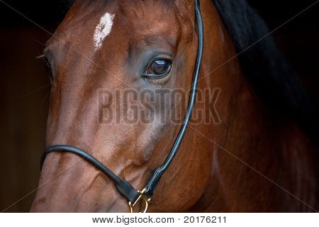 Portrait of bay horse, isolated on black background.