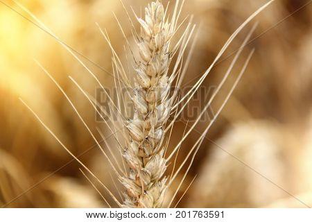 Wheat field. Ears of golden wheat close up. Background of ripening ears of meadow wheat field. Rich harvest. Golden wheat field
