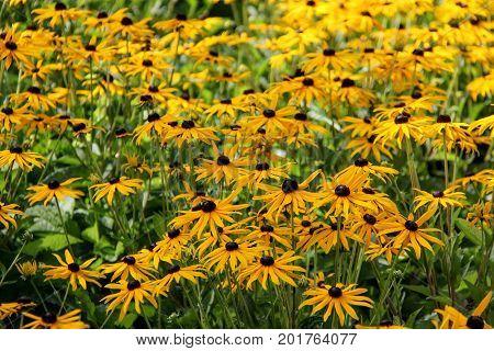 the rudbeckia fulgida little goldstar flower meadow
