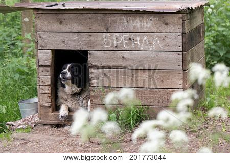 ST. PETERSBURG, RUSSIA - JUNE 30, 2017: Dog Brenda in the shelter for homeless animals of the foundation Vernost. About 40 big dogs living in the shelter today