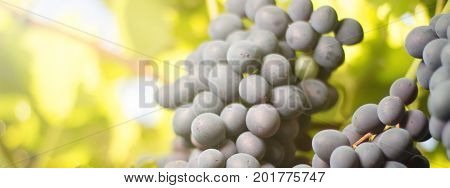 Bunches Of Red Wine Grapes Growing In Italian Fields.