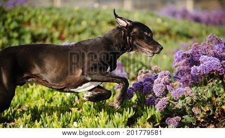 Great Dane dog outdoor portrait running through field of flowers