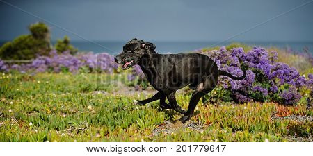 Great Dane dog outdoor portrait running in field with purple flowers