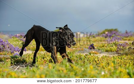 Great Dane dog outdoor portrait playing in purple flowers
