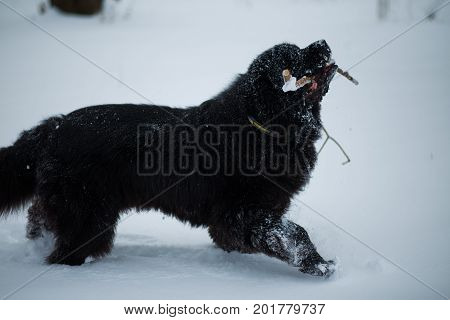 Year of the dog. Playful dog. Newfoundland on the road with snowy trees. Dog on walk in the winter. In thoroughbred dogs. Newfoundland playing in the snow.
