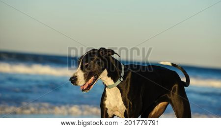 Great Dane dog outdoor portrait playing at ocean