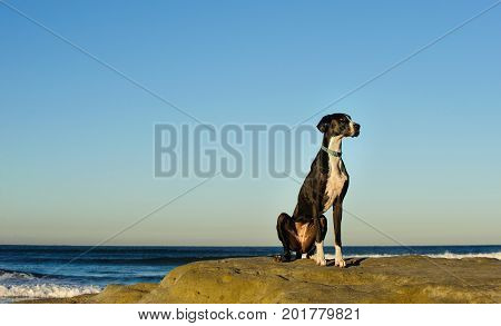 Great Dane dog outdoor portrait standing on rocks by ocean