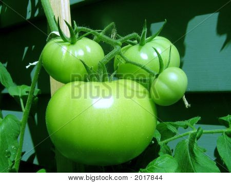 Tomatoes Green on the vine