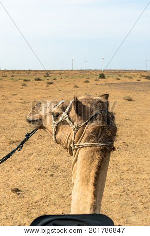 Vertical picture of local camel in Thar Desert located close to Jaisalmer the Golden City in India. Native indians use camels as transport.