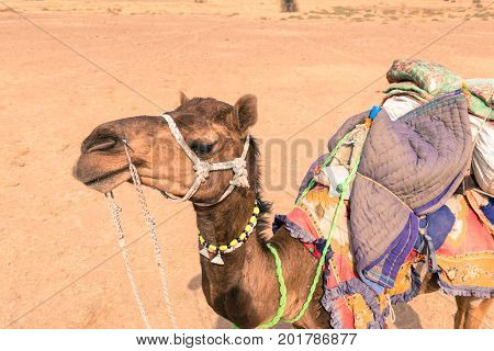 Horizontal picture of local camel in Thar Desert located close to Jaisalmer the Golden City in India. Native indians use camels as transport.