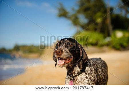 German Shorthaired Pointer dog outdoor portrait on tropical beach