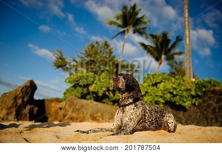 German Shorthaired Pointer dog outdoor portrait lying on tropical beach