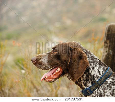 German Shorthaired Pointer dog outdoor  in nature