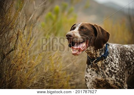 German Shorthaired Pointer dog in nature,in bushes