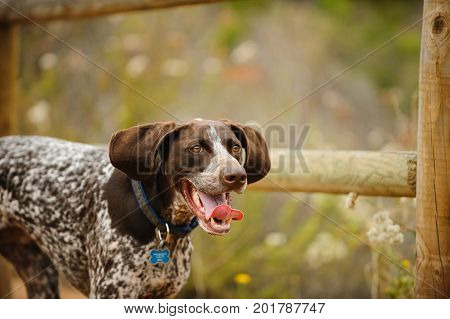 German Shorthaired Pointer dog running along wood fence