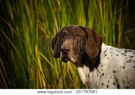 German Shorthaired Pointer dog in green reeds