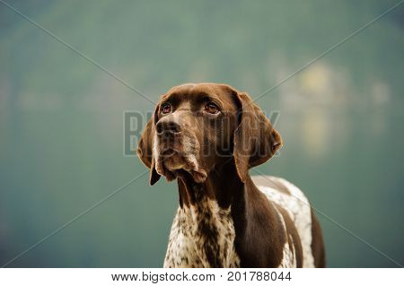 German Shorthaired Pointer dog against natural background