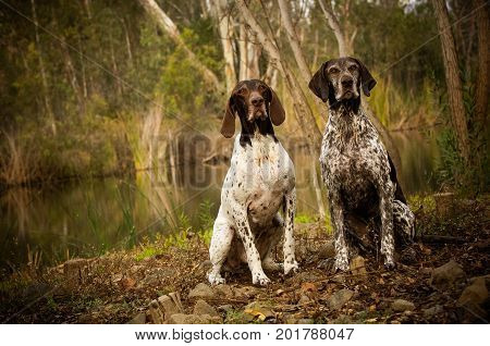 Two German Shorthair Pointers sitting in nature by a pond and trees